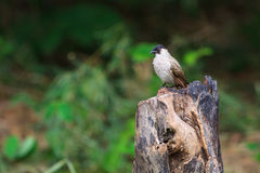 Beautiful bird Sooty headed Bulbul Royalty Free Stock Photos