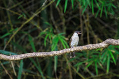 Beautiful bird Sooty headed Bulbul Stock Photos