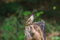 Beautiful bird Sooty headed Bulbul Royalty Free Stock Photography