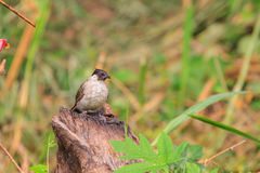 Beautiful bird Sooty headed Bulbul. Perched on wooden Pycnonotus aurigaster Royalty Free Stock Image