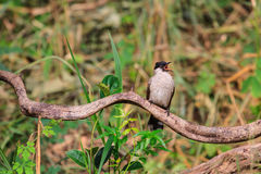 Beautiful bird Sooty headed Bulbul Royalty Free Stock Images