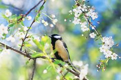 beautiful bird tit sitting on a branch of cherry blossoms stock photos