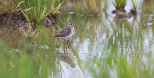 Beautiful Bird Wallpaper. A beautiful Wood sandpiper with its super reflection Royalty Free Stock Image