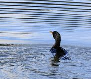 Beautiful colorful bird in the water with ripples stock images