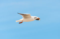 Beautiful bird, White Gull ,Seagull on flying. Profile royalty free stock image