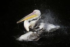 Beautiful bird white Pelican splashing impressively into the dar. K lake spraying water drops with feathers and beak in the Park royalty free stock photography