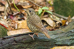 Beautiful of bird White-throated female  Rock Thrush  on branch Royalty Free Stock Photography