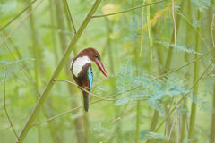 Beautiful Bird White-throated Kingfisher Royalty Free Stock Image