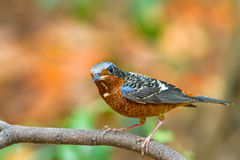 Beautiful  of bird White-throated Rock Thrush on branch Stock Photo