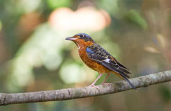 Beautiful of bird White-throated Rock Thrush  sing asong on bran Stock Photography