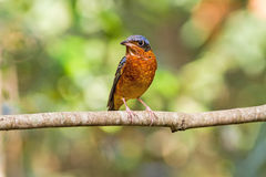 Beautiful of bird White-throated Rock Thrush  sing asong on branch Royalty Free Stock Image