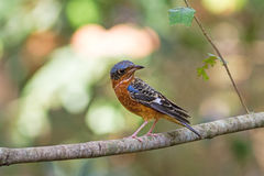 Beautiful of bird White-throated Rock Thrush  sing asong on branch Royalty Free Stock Photo