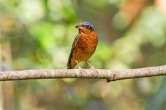 Beautiful of bird White-throated Rock Thrush  sing asong on branch Stock Photos
