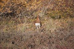 Willow ptarmigan state bird of Alaska stock images