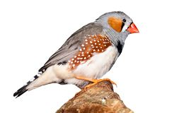Beautiful bird, Zebra Finch Taeniopygia guttata isolated on white.  royalty free stock photos