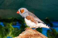 Beautiful bird, Zebra Finch Taeniopygia guttata perching on a branch.  royalty free stock photography