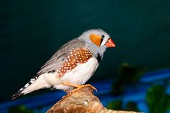 Beautiful bird, Zebra Finch Taeniopygia guttata perching on a branch.  stock photos