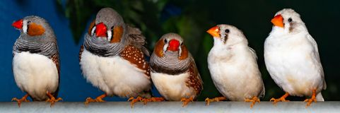 Beautiful bird, Zebra Finch Taeniopygia guttata perching on a branch.  stock images