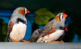 Beautiful bird, Zebra Finch Taeniopygia guttata perching on a branch.  royalty free stock image