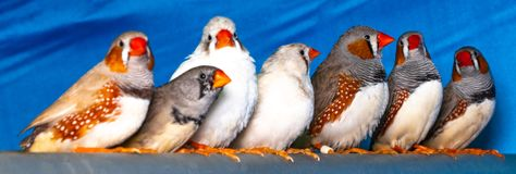 Beautiful bird, Zebra Finch Taeniopygia guttata perching on a branch.  stock photo