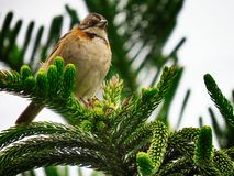 Beautiful bird standing on the branches of a pine. Beautiful bird Zonotrichia capensis standing on the green branches of a pine Araucaria columnaris on white sky stock images