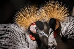 Beautiful birds. Zoo animals, grey crowned crane balerica Royalty Free Stock Photos