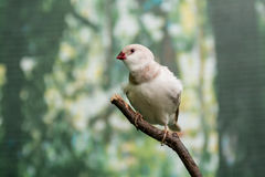Beautiful birds Astrild Estrildidae sitting on a branch Royalty Free Stock Images