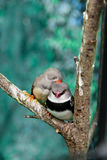 Beautiful birds Astrild Estrildidae sitting on a branch Stock Image