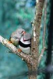 Beautiful birds Astrild Estrildidae sitting on a branch Royalty Free Stock Image