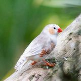 Zebra finch. Beautiful birds in the aviary at Wicksteed Park in Kettering, Northamptonshire Stock Images