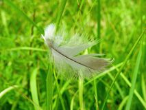 Birds feather on green grass, Lithuania Royalty Free Stock Image