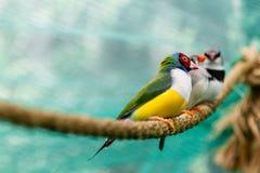 Beautiful birds Guldova Amadina Erythrura gouldiae sitting on Royalty Free Stock Images