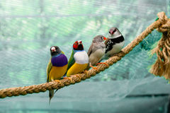 Beautiful birds Guldova Amadina Erythrura gouldiae sitting on Stock Image