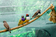 Beautiful birds Guldova Amadina Erythrura gouldiae sitting on Stock Images