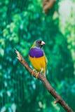 Beautiful birds Guldova Amadina Erythrura gouldiae sitting on Royalty Free Stock Image