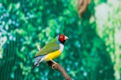 Beautiful birds Guldova Amadina Erythrura gouldiae sitting on Stock Photos
