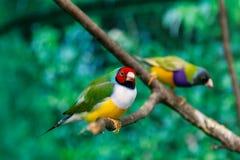 Beautiful birds Guldova Amadina Erythrura gouldiae sitting on Royalty Free Stock Photography
