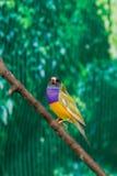 Beautiful birds Guldova Amadina Erythrura gouldiae sitting on Stock Photography
