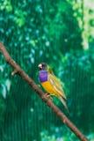 Beautiful birds Guldova Amadina Erythrura gouldiae sitting on Royalty Free Stock Photo