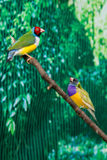 Beautiful birds Guldova Amadina Erythrura gouldiae sitting on Royalty Free Stock Photos