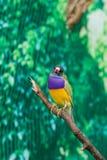 Beautiful birds Guldova Amadina Erythrura gouldiae sitting on Stock Photo