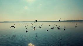 Birds on the lake in Germany. Beautiful birds on the lake in Germany at sunset stock video footage