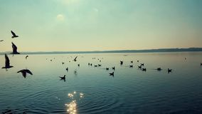 Group of birds on the lake at sunset stock footage
