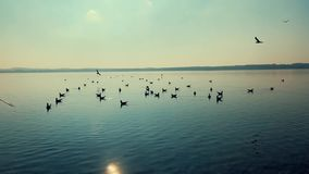 Beautiful birds on the lake at sunset stock footage