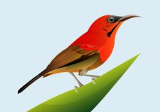 Beautiful birds on the leaves. Beautiful color of this bird is so beautiful and suitable for you who look for pictures of birds with a full color Stock Photography