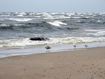 Seagull on Baltic sea coast, Lithuania Stock Image