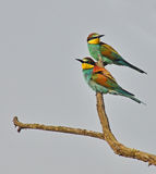 Beautiful birds portrait. Rainbow birds couple on the branch in sky background Royalty Free Stock Photography