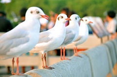 Beautiful birds standing in a row. Beautiful birds - brown headed gulls - standing in a row Royalty Free Stock Photo