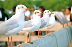 Beautiful birds standing in a row. Beautiful birds - brown headed gulls - standing in a row Stock Images