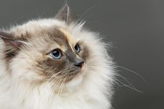 Beautiful birma cat in pink dress Royalty Free Stock Images